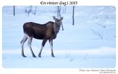 Elg på isen IMG_5300