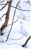 2 Ryper vinter. IMG_5962 (1)