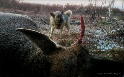 Kaia loser på en ungoks som er skutt